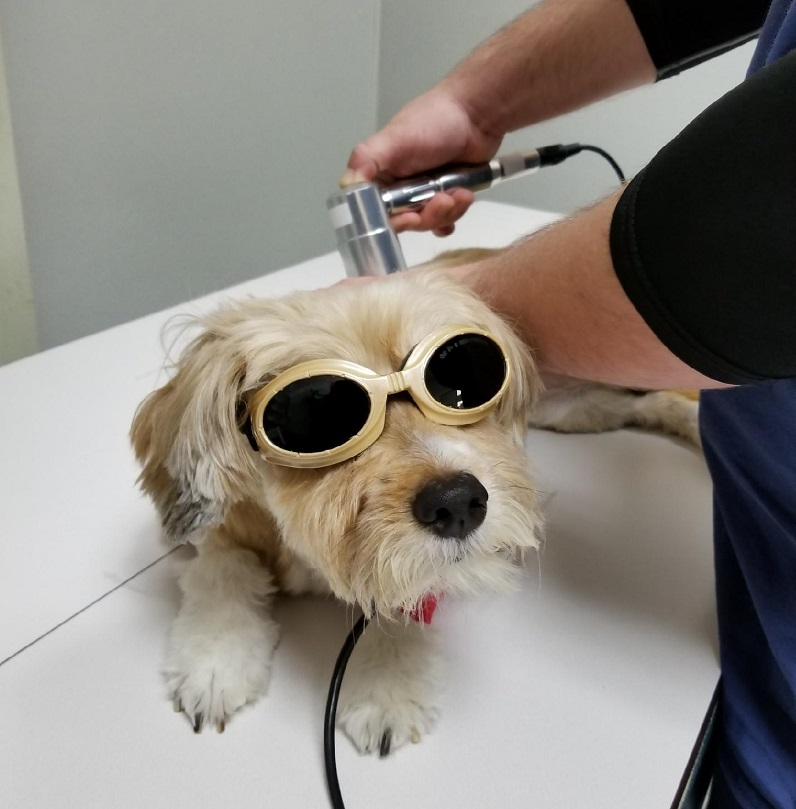 Cat receiving laser therapy
